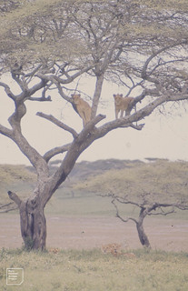Two lions in tree, three below. Nduto