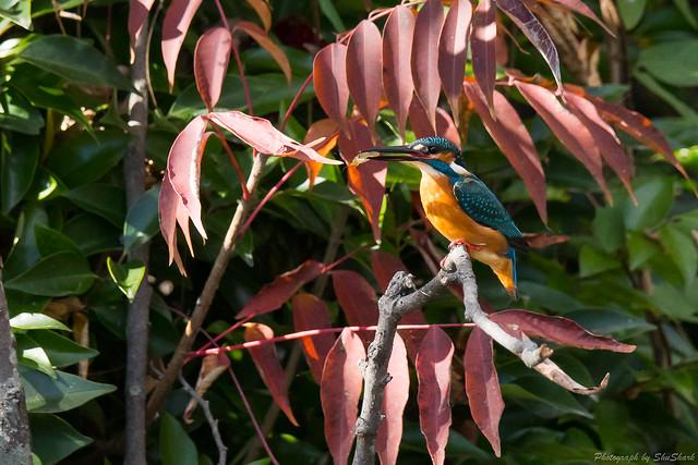 20171124-kingfisher-DSC_8506