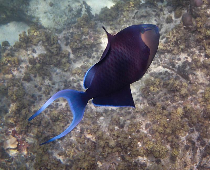2017-11-11 07.36.26_Redtooth Triggerfish_Краснозубый спинорог