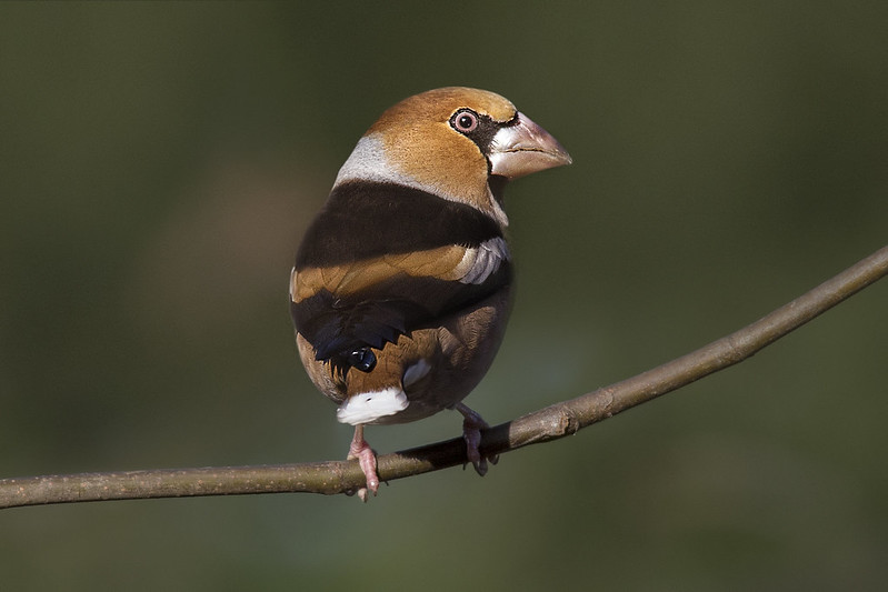 Hawfinch RSPB Sandy 2 Dec 2017