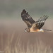 Northern Harrier by Luis Villablanca