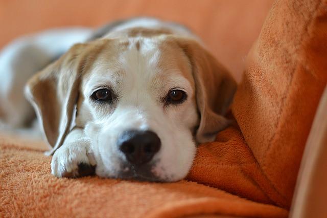 痒みのため元気がない犬