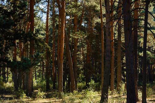 Bosque de pino albar