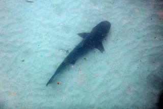 Teeny shark on the Great Barrier Reef (Opal Reef)