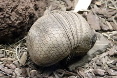 La Plata Three-banded Armadillo