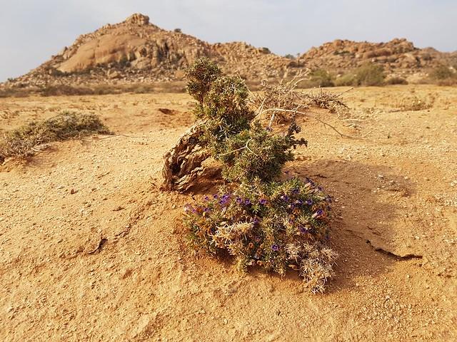 Aptosimum spinescens, Goegap (1)