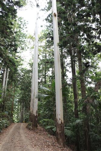Flooded Gum (Eucalyptus grandis)