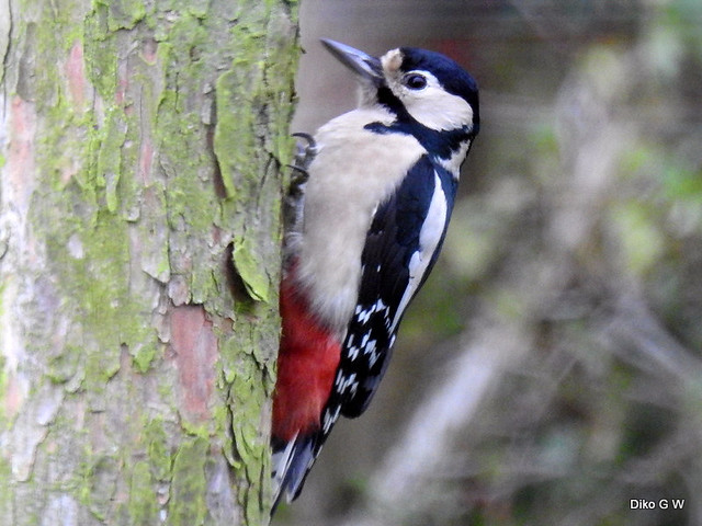 Greater Spotted Woodpecker Female