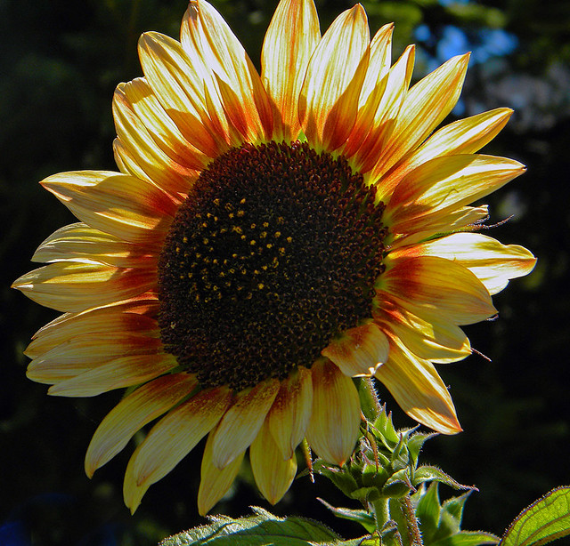 A back-lit Sunflower in a Mole Hill garden, Vancouver