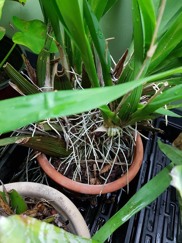 Les orchidées chez Sougriwa 37690315614_daa5e9c272_c