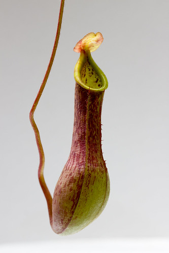 Nepenthes zygon (Mt. Pasian)