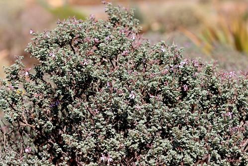 Pelargonium exstipulatum, big bush