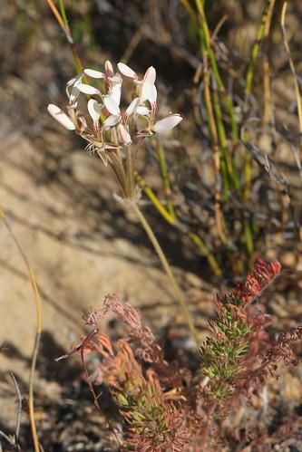 Pelargonium rapaceum, geophyte