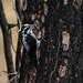 American Three-toed Woodpecker | Signal Burn | Gila NF | NM|2017-10-18|09-01-39.jpg