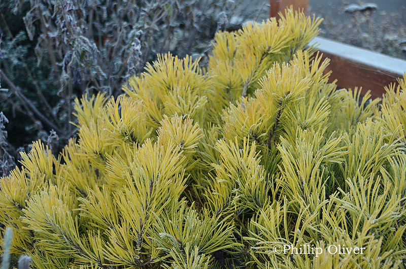 mugo-pine-frost