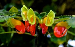 Conservatory of Flowers, Golden Gate Park,  Impatiens niamniamensis, Candy Corn Impatiens, Balsaminaceac, Central Africa,