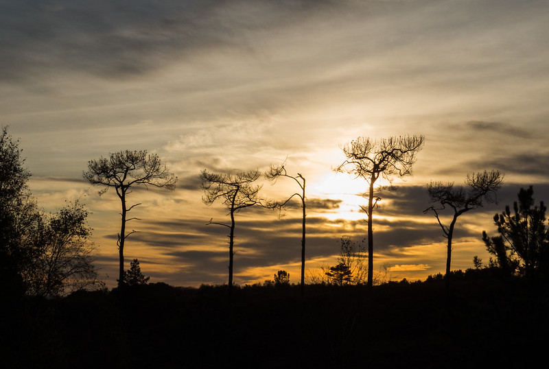 Trees at sundown
