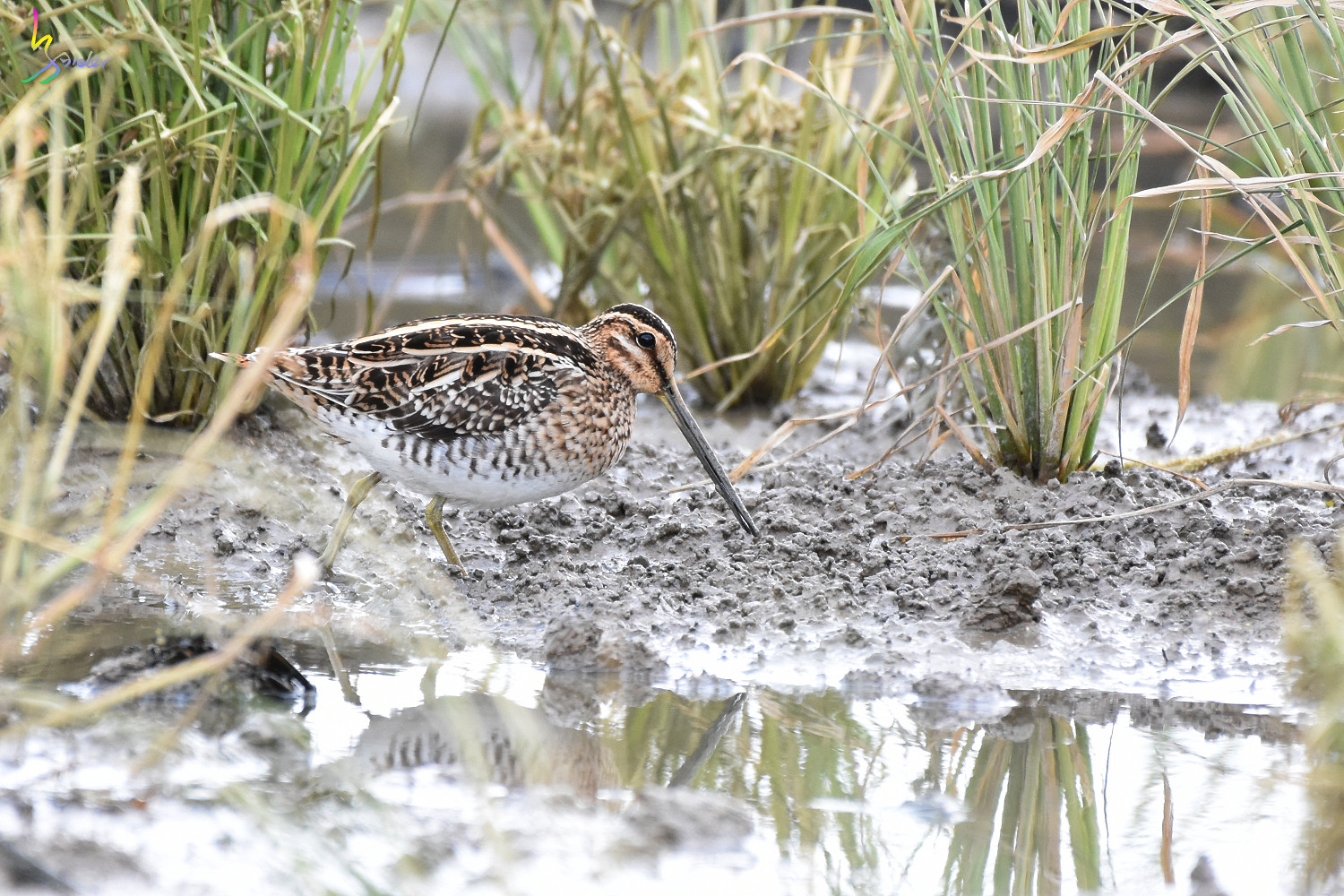 Common_Snipe_7229