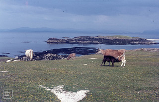 Iona machair, Cows and calves, flowers. 1968