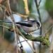 Long-tailed Tit----Aegithalos caudatus