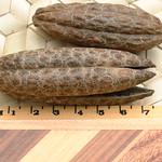 Flindersia brayleyana seedpods