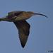 curlew 12 2017 in flight