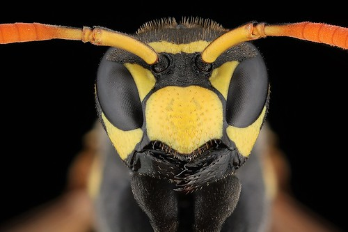 Wasp Front