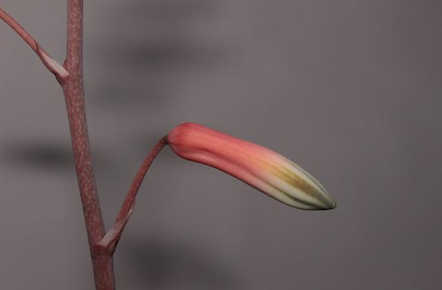 Aloe fragilis 39009954531_4c1a9850cc_z