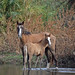Wild Horse Mom and Baby, Verde River, AZ