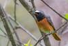 Common Redstart (Phoenicurus phoenicurus), male-8876
