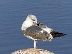 Juvenile Great Black-backed Gull P1500226