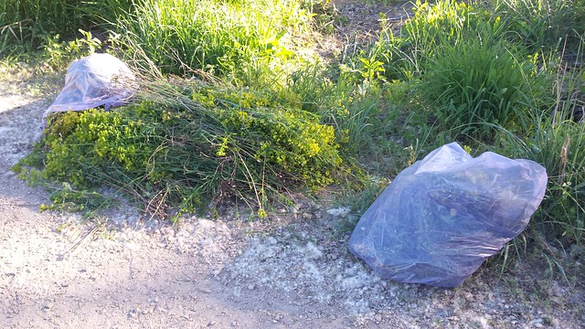 a pile of yellow-flowered plants between full plastic bags on the edge of a gravel path