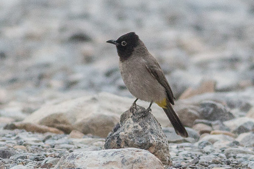 White-spectacled Bulbul