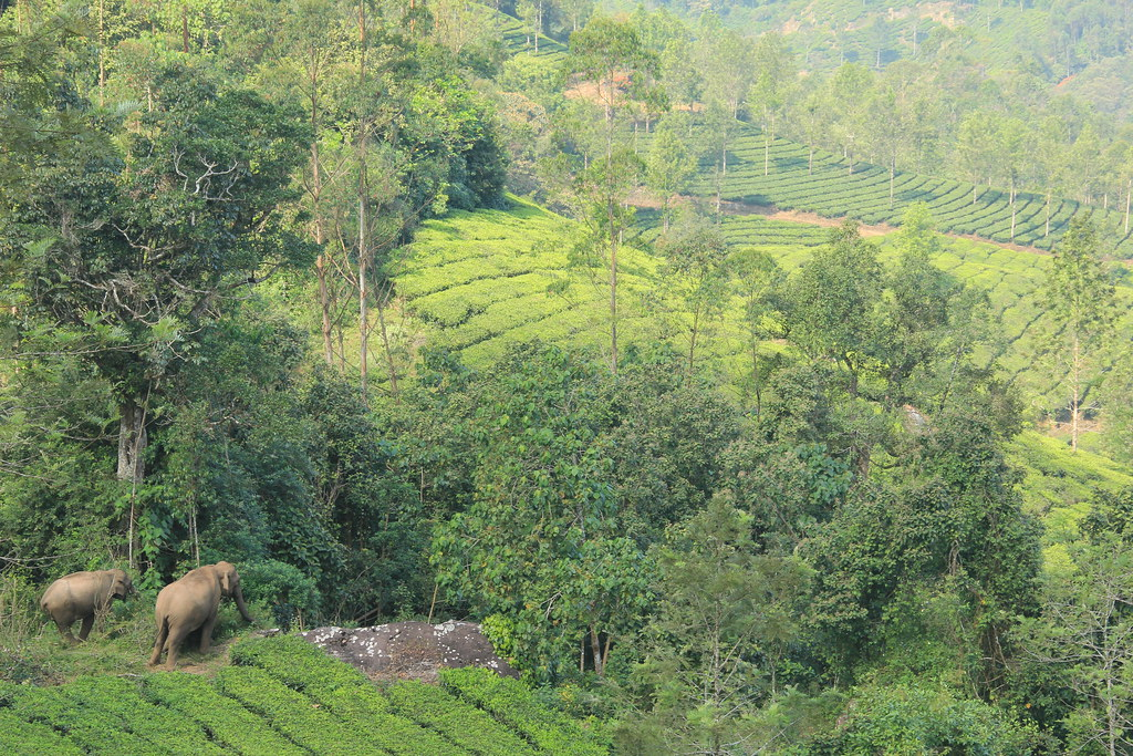 Elephants in a tea plantation, Kerala
