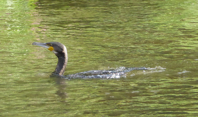 Cormorant on river Otter