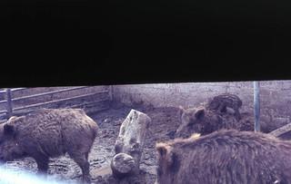 Wild boars. Sus scrofa. Striped baby on adult's back. Tel aviv