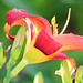 Day Lily 004