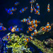 Ocellaris clownfish - Sealife Kansas City