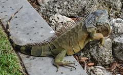 Common Iguana. Nikon 3100D. DSC_0709.