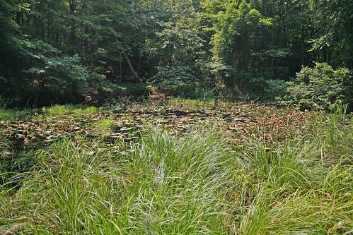 Carex lupuliformes