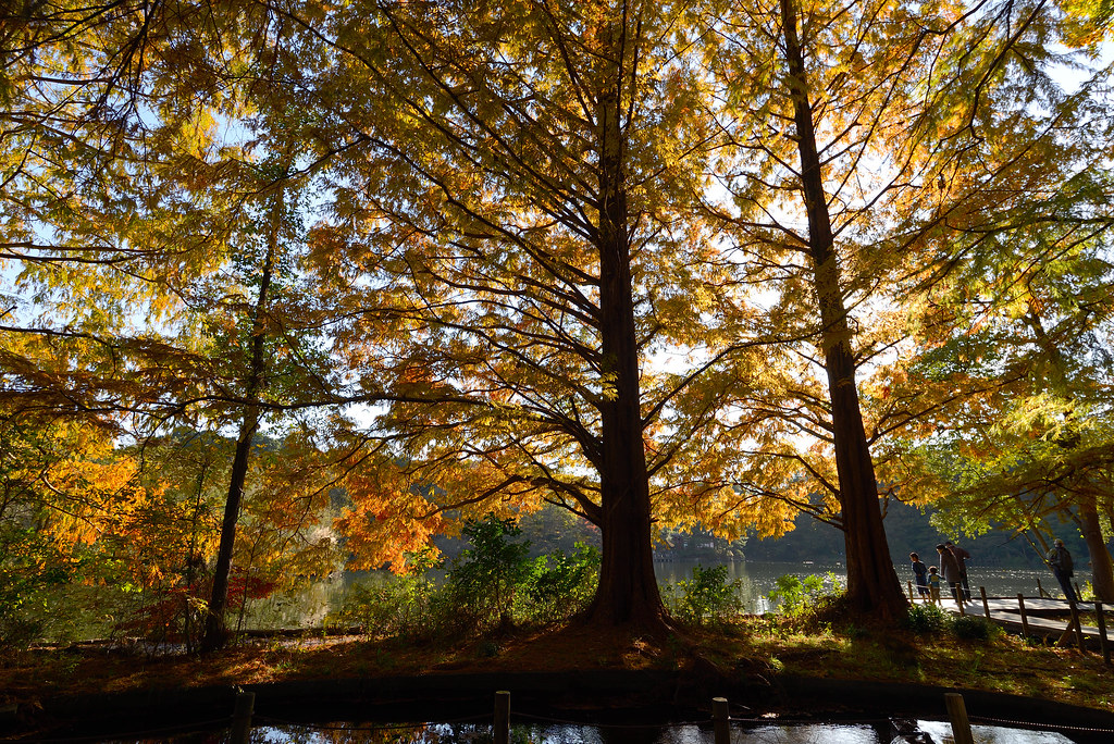 Shakujii park in autumn. 秋の石神井公園