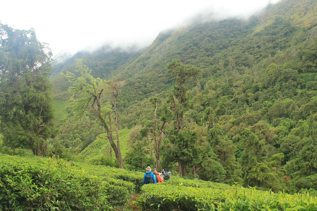 Walking through the tea plantations