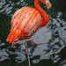 American Flamingo, National Aviary (Pittsburgh, PA) by @CarShowShooter
