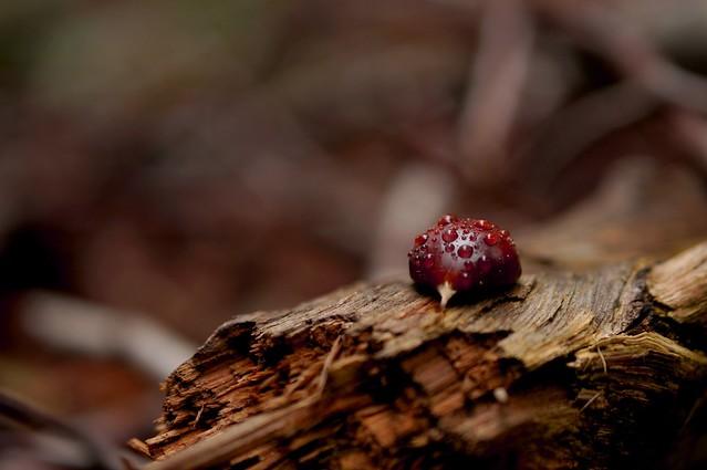 Droplet chestnut