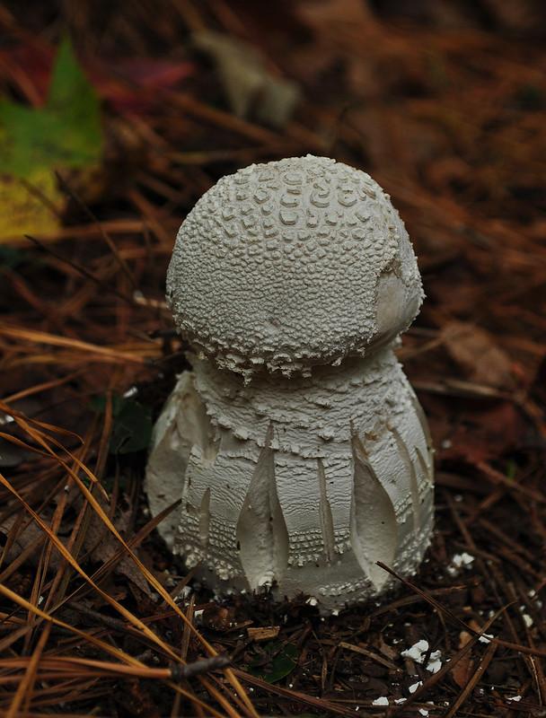 First Landing State Park Fungi (9)