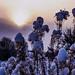 Snow Buds