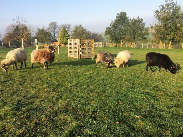 Boreray breeding group at Marlfield Farm