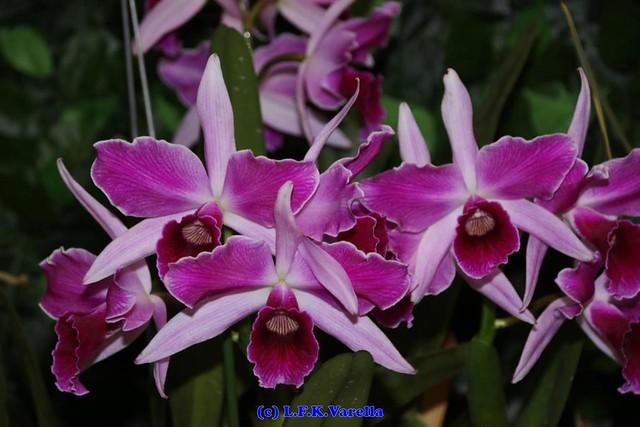 Laelia purpurata flamea - cultivo Flavio Schmidt