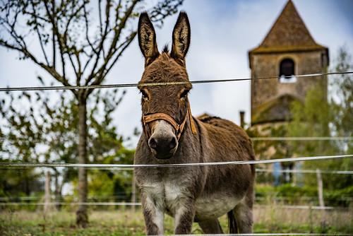 33-L'âne et le clocher