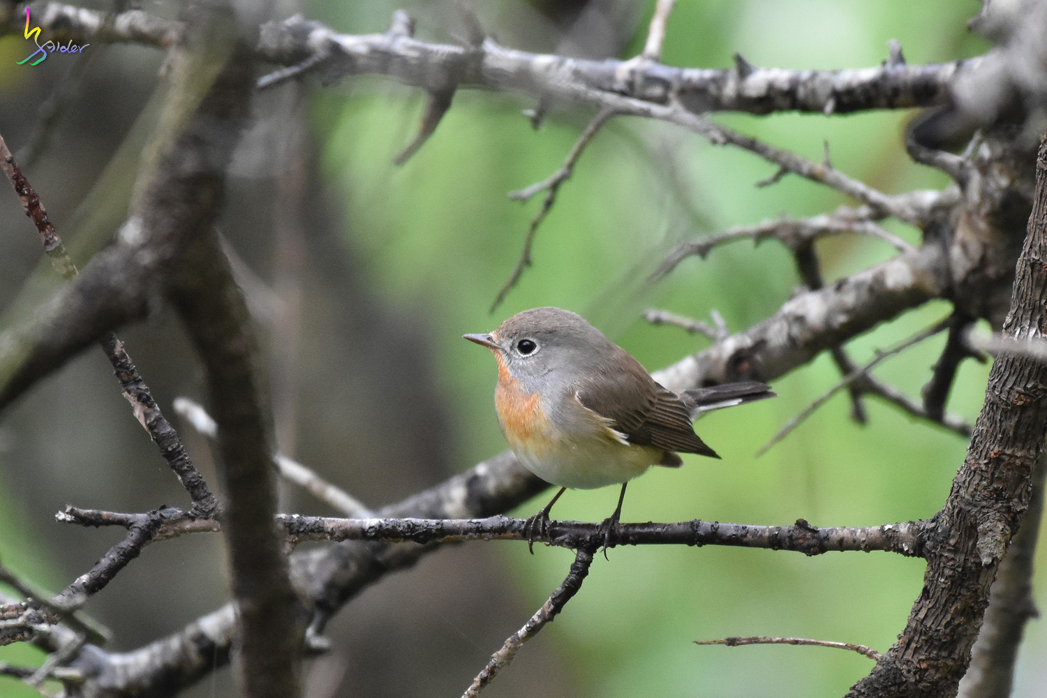 Red-breasted_Flycatcher_9464